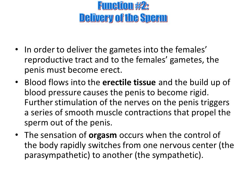 In order to deliver the gametes into the females' reproductive tract and to the females' gametes, the penis must become erect.