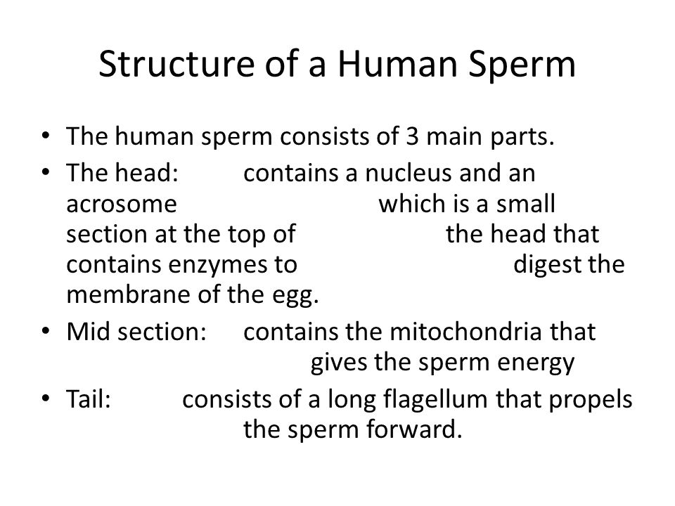 Structure of a Human Sperm The human sperm consists of 3 main parts.