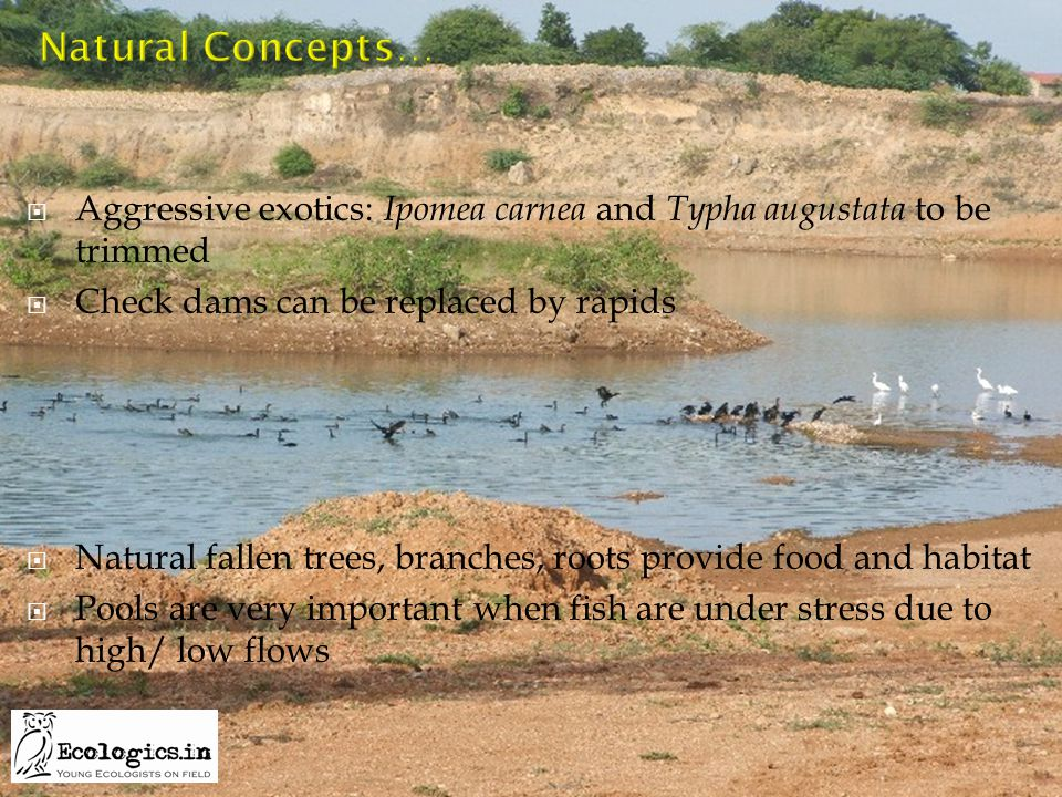  Aggressive exotics: Ipomea carnea and Typha augustata to be trimmed  Check dams can be replaced by rapids  Natural fallen trees, branches, roots p