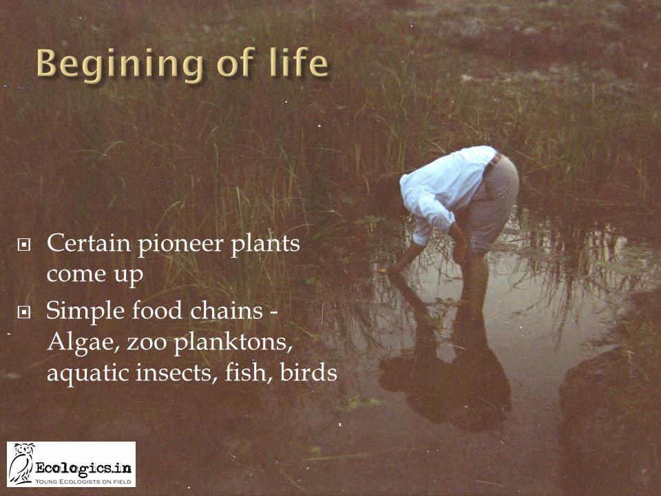 Certain pioneer plants come up  Simple food chains - Algae, zoo planktons, aquatic insects, fish, birds