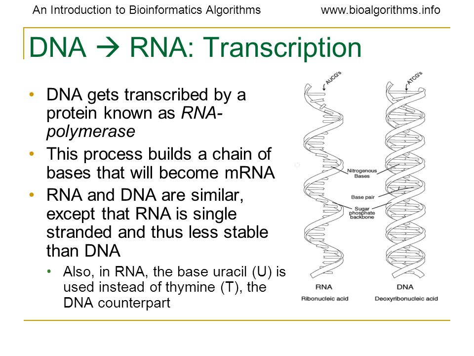An Introduction to Bioinformatics Algorithmswww.bioalgorithms.info DNA  RNA: Transcription DNA gets transcribed by a protein known as RNA- polymerase