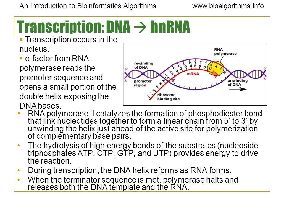 An Introduction to Bioinformatics Algorithmswww.bioalgorithms.info Transcription: DNA  hnRNA  RNA polymerase II catalyzes the formation of phosphodi