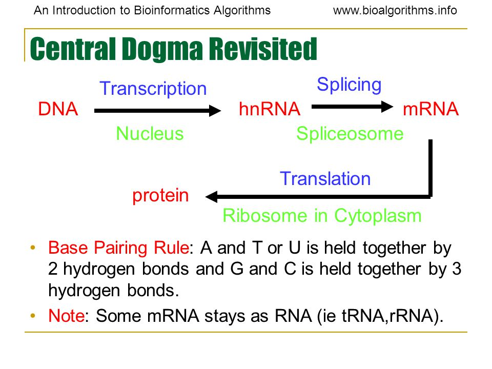 An Introduction to Bioinformatics Algorithmswww.bioalgorithms.info Central Dogma Revisited Base Pairing Rule: A and T or U is held together by 2 hydro
