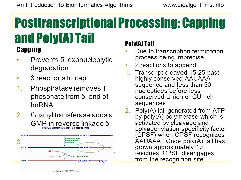 An Introduction to Bioinformatics Algorithmswww.bioalgorithms.info Posttranscriptional Processing: Capping and Poly(A) Tail Capping Prevents 5' exonuc