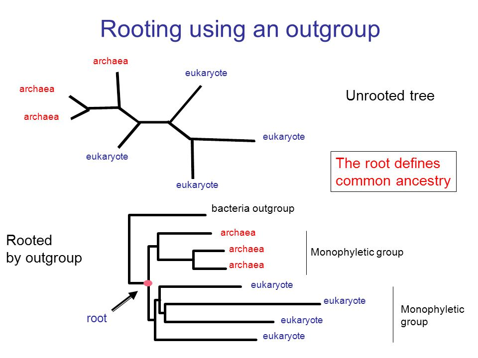 Rooted by outgroup Rooting using an outgroup archaea eukaryote bacteria outgroup root eukaryote Unrooted tree archaea Monophyletic group Monophyletic group The root defines common ancestry