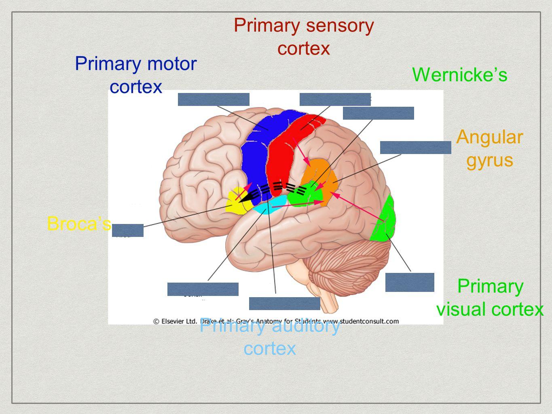 Broca's Primary auditory cortex Angular gyrus Wernicke's Primary motor cortex Primary sensory cortex Primary visual cortex