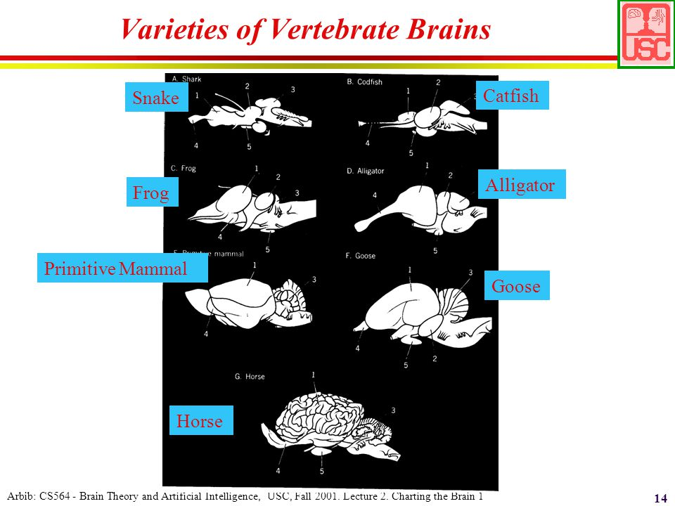 Arbib: CS564 - Brain Theory and Artificial Intelligence, USC, Fall 2001.