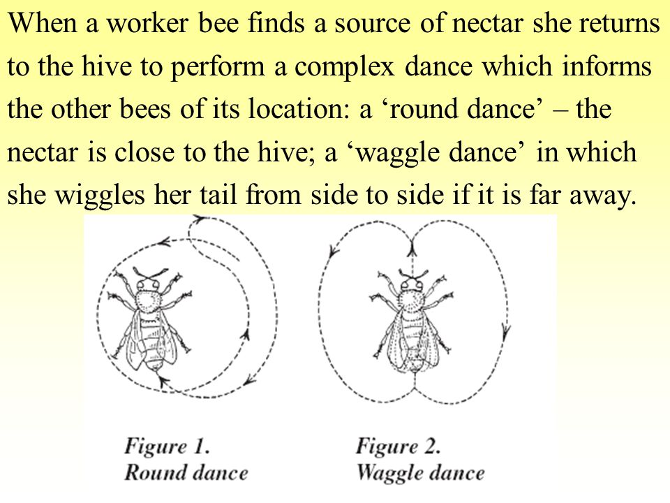 When a worker bee finds a source of nectar she returns to the hive to perform a complex dance which informs the other bees of its location: a 'round dance' – the nectar is close to the hive; a 'waggle dance' in which she wiggles her tail from side to side if it is far away.