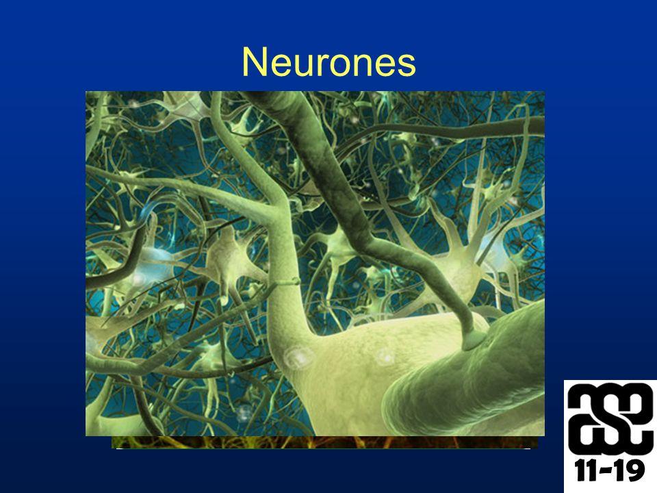 11-19 Neurones