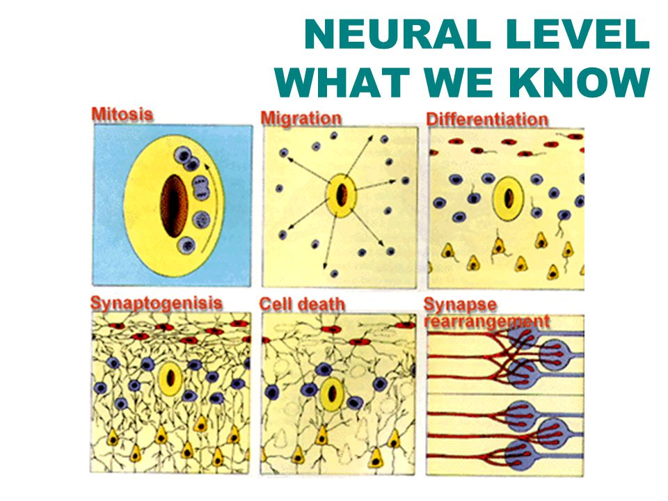 NEURAL LEVEL WHAT WE KNOW