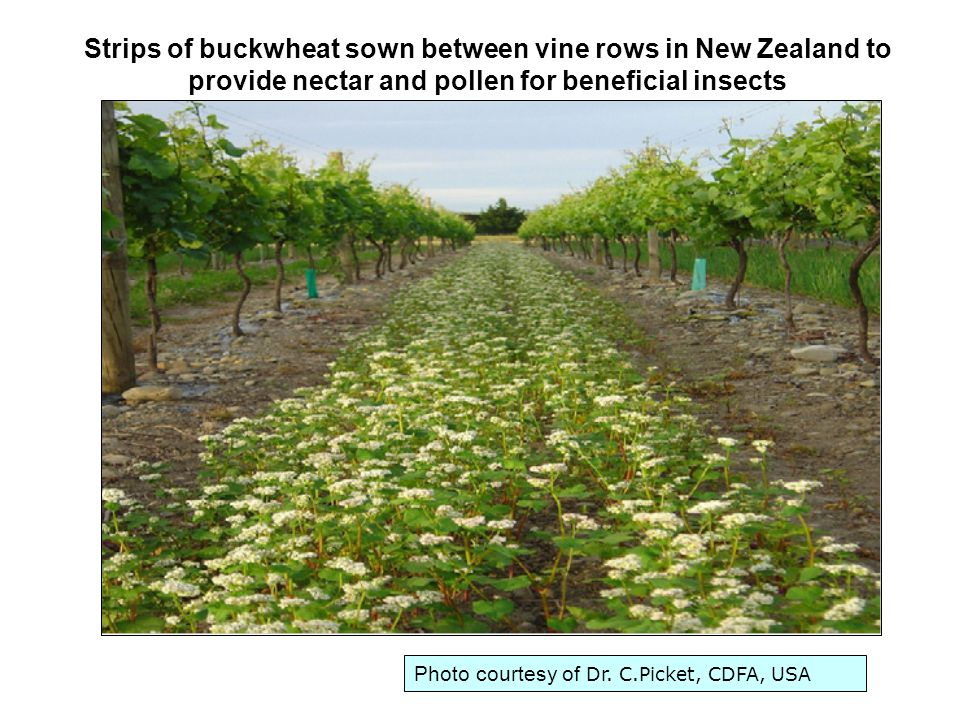 Photo courtesy of Dr. C.Picket, CDFA, USA Strips of buckwheat sown between vine rows in New Zealand to provide nectar and pollen for beneficial insect