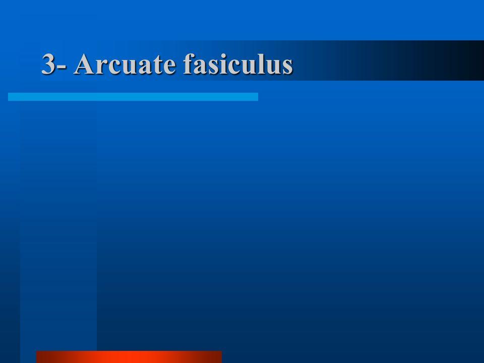 3- Arcuate fasiculus