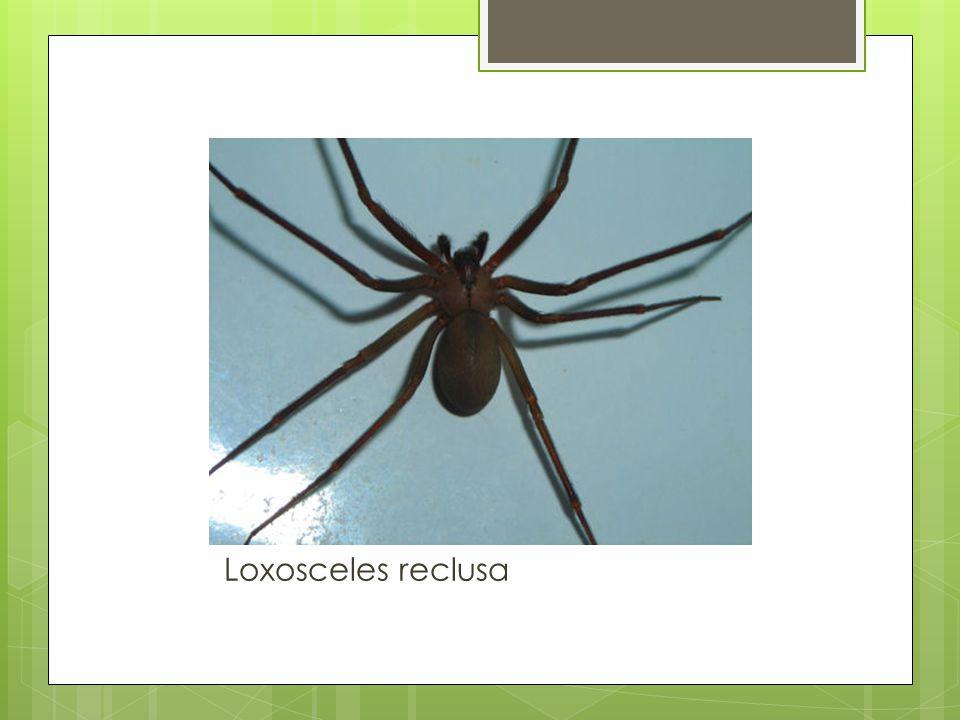 Loxosceles reclusa