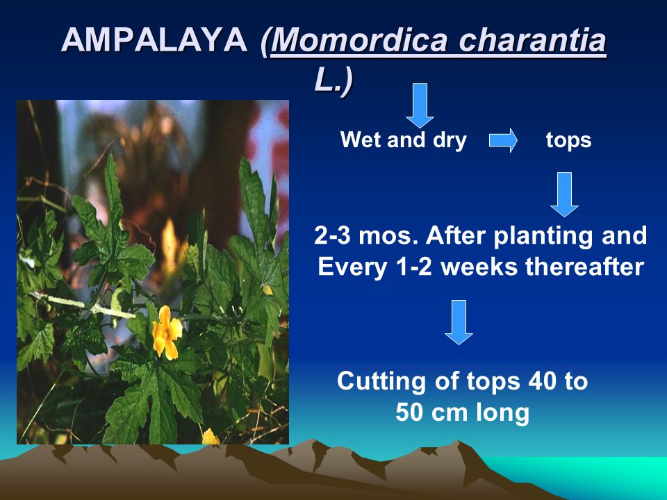 AKAPULCO (Cassia alata L.) WET AND DRY 5-6 mos. After planting and Every 4 mos.