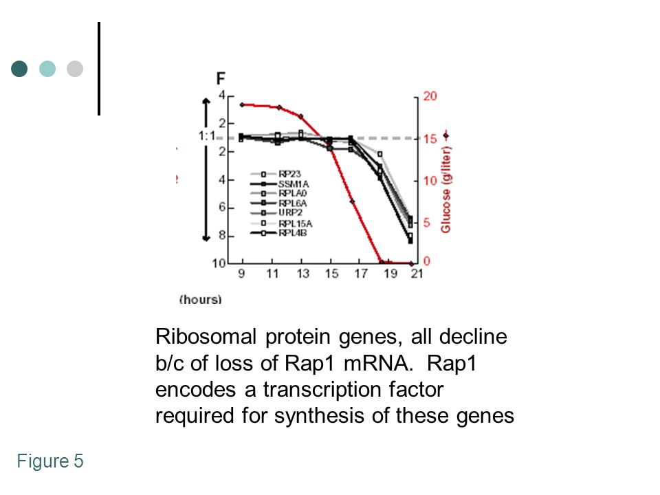 Figure 5 Ribosomal protein genes, all decline b/c of loss of Rap1 mRNA. Rap1 encodes a transcription factor required for synthesis of these genes