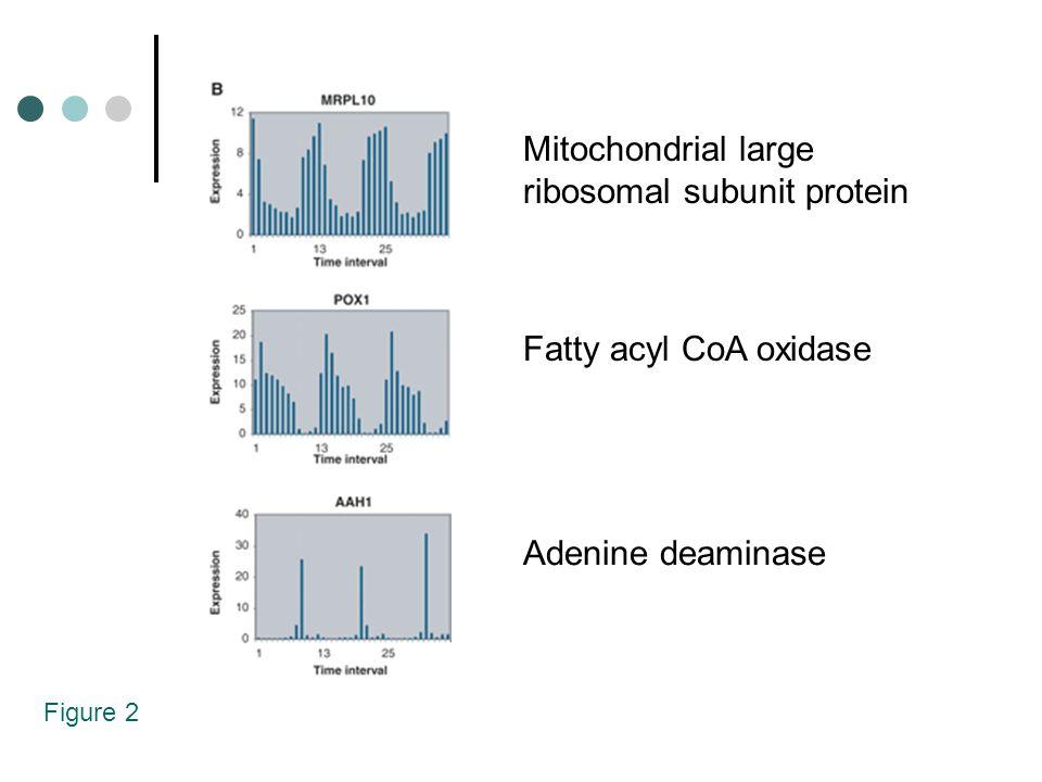 Figure 2 Mitochondrial large ribosomal subunit protein Fatty acyl CoA oxidase Adenine deaminase