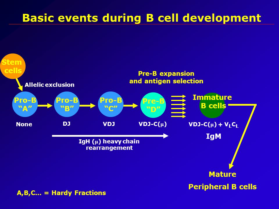 Basic events during B cell development Stem cells Pre-B D Pre-B expansion and antigen selection Immature B cells Mature Peripheral B cells IgH () heavy chain rearrangement VDJ-C() + V L C L IgM VDJ-C() Pro-B A Pro-B C Pro-B B None DJ VDJ Allelic exclusion A,B,C… = Hardy Fractions