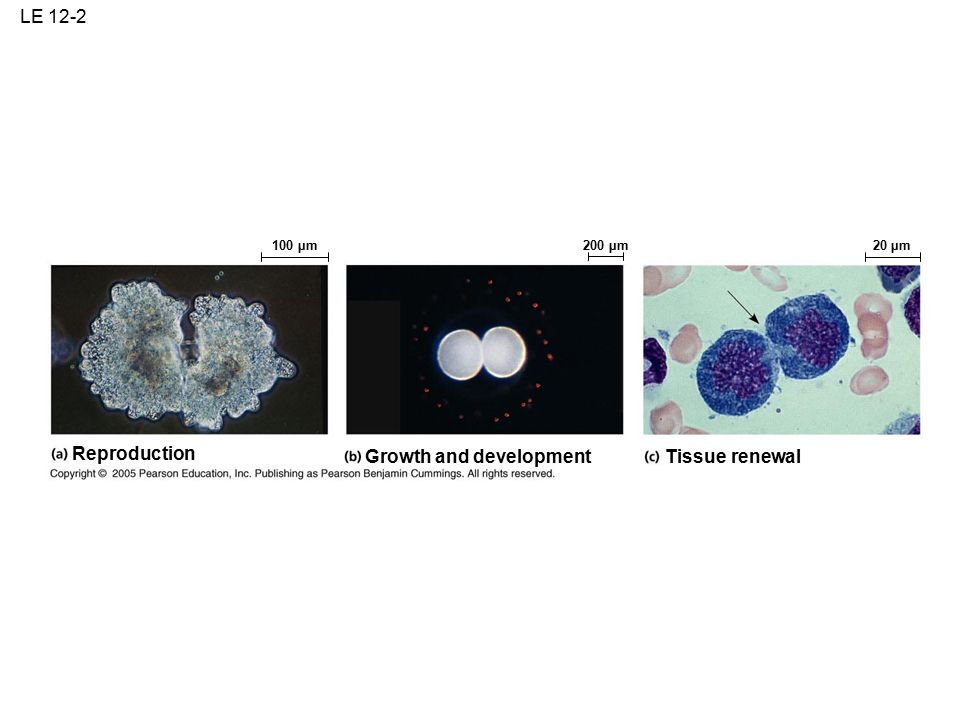 LE 12-2 Reproduction 100 µm Tissue renewal Growth and development 20 µm200 µm