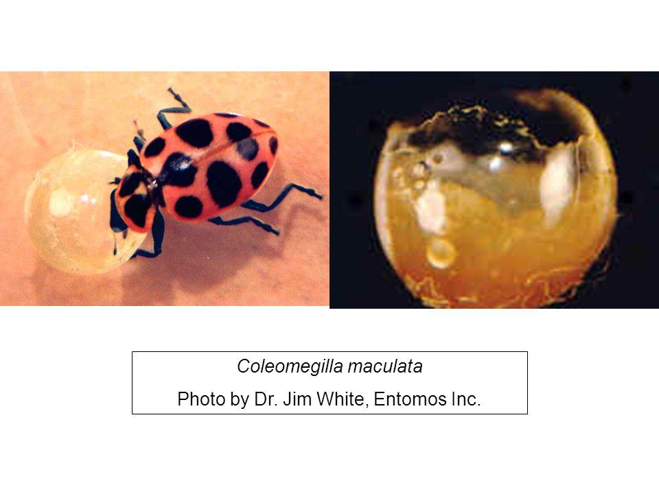 Coleomegilla maculata Photo by Dr. Jim White, Entomos Inc.
