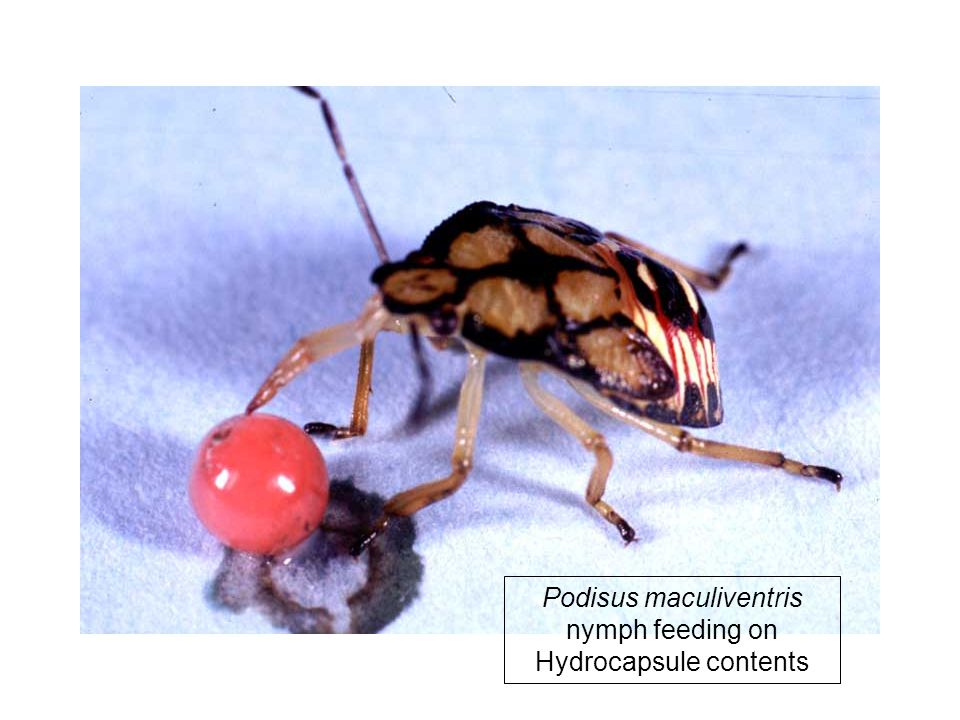 Podisus maculiventris nymph feeding on Hydrocapsule contents