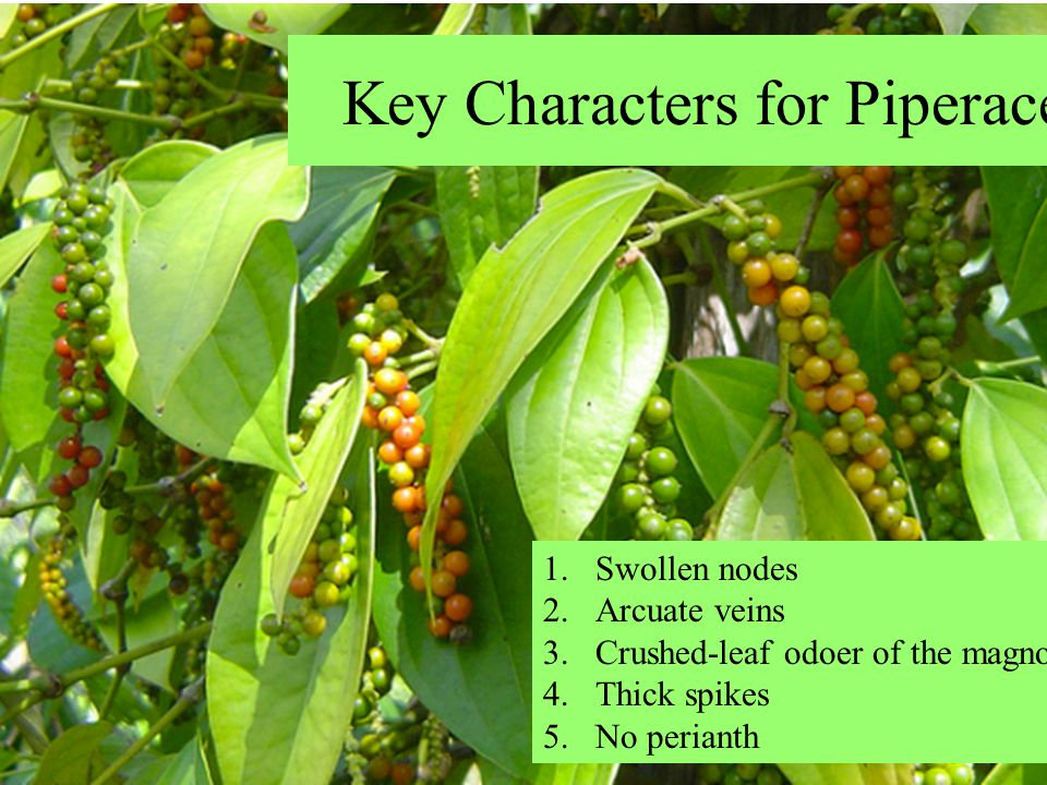 Key Characters for Piperaceae 1.Swollen nodes 2.Arcuate veins 3.Crushed-leaf odoer of the magnoliids 4.Thick spikes 5.No perianth