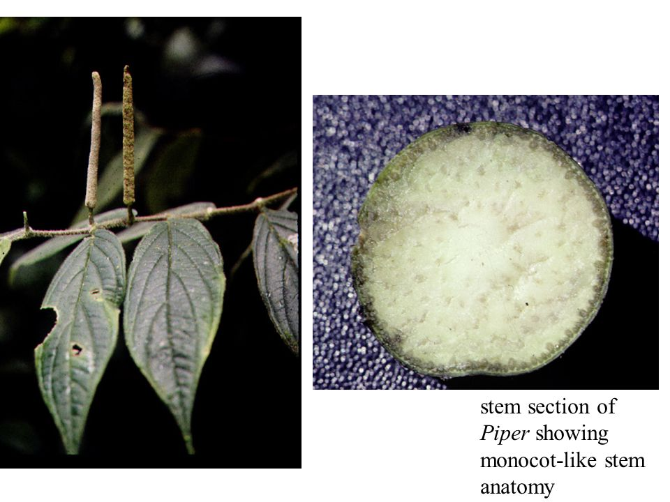 stem section of Piper showing monocot-like stem anatomy