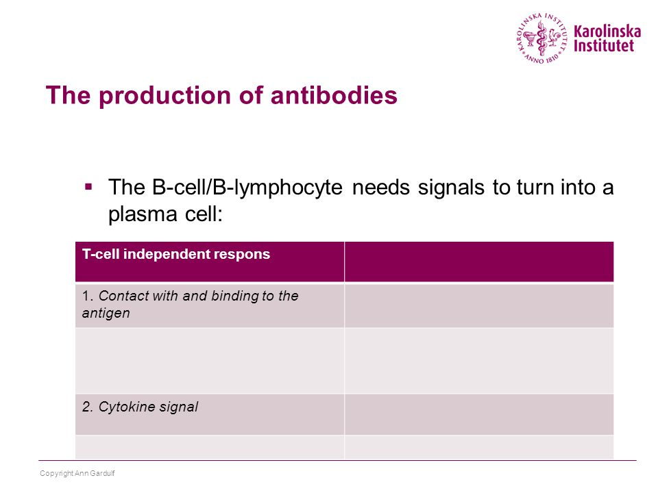  The B-cell/B-lymphocyte needs signals to turn into a plasma cell: Copyright Ann Gardulf The production of antibodies T-cell independent respons 1.