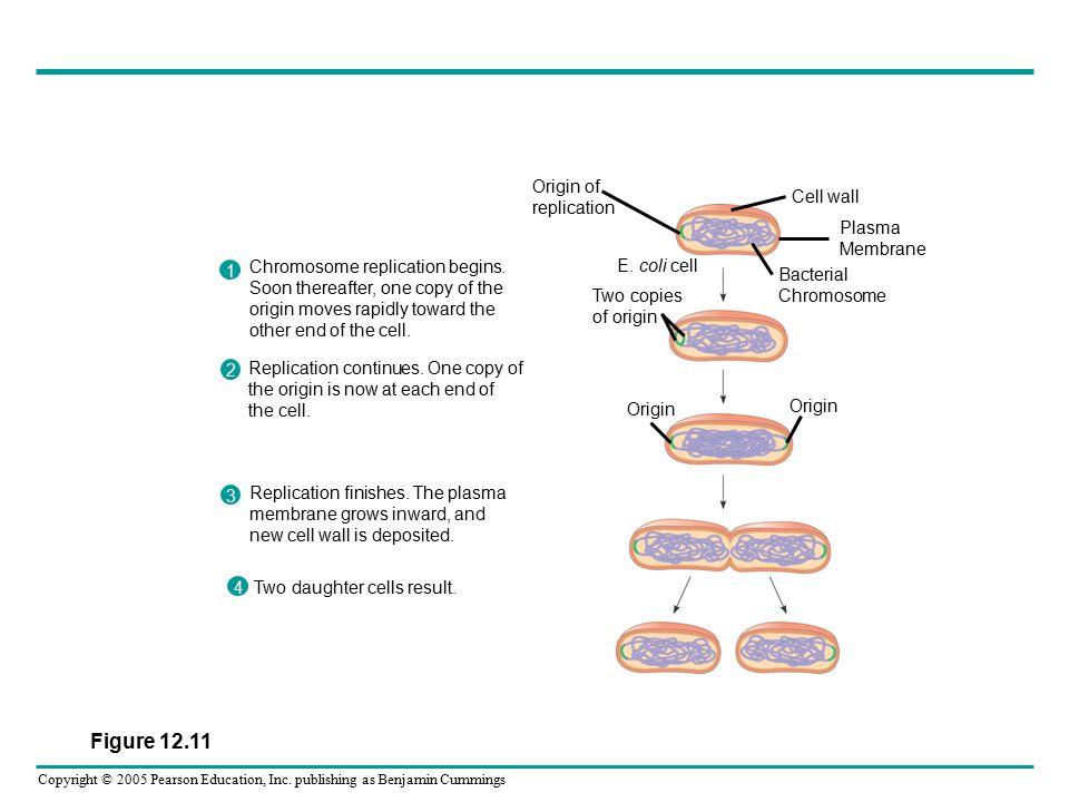Copyright © 2005 Pearson Education, Inc. publishing as Benjamin Cummings Origin of replication E.