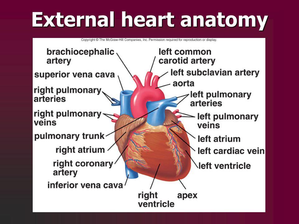 External heart anatomy