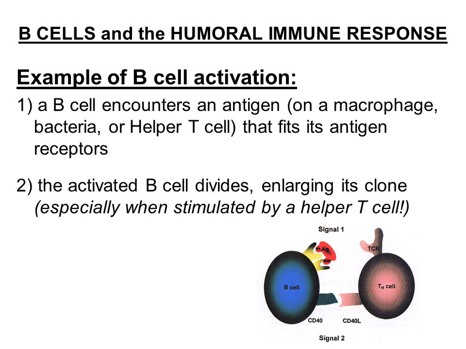 B CELLS and the HUMORAL IMMUNE RESPONSE Example of B cell activation: 1) a B cell encounters an antigen (on a macrophage, bacteria, or Helper T cell) that fits its antigen receptors 2) the activated B cell divides, enlarging its clone (especially when stimulated by a helper T cell!)