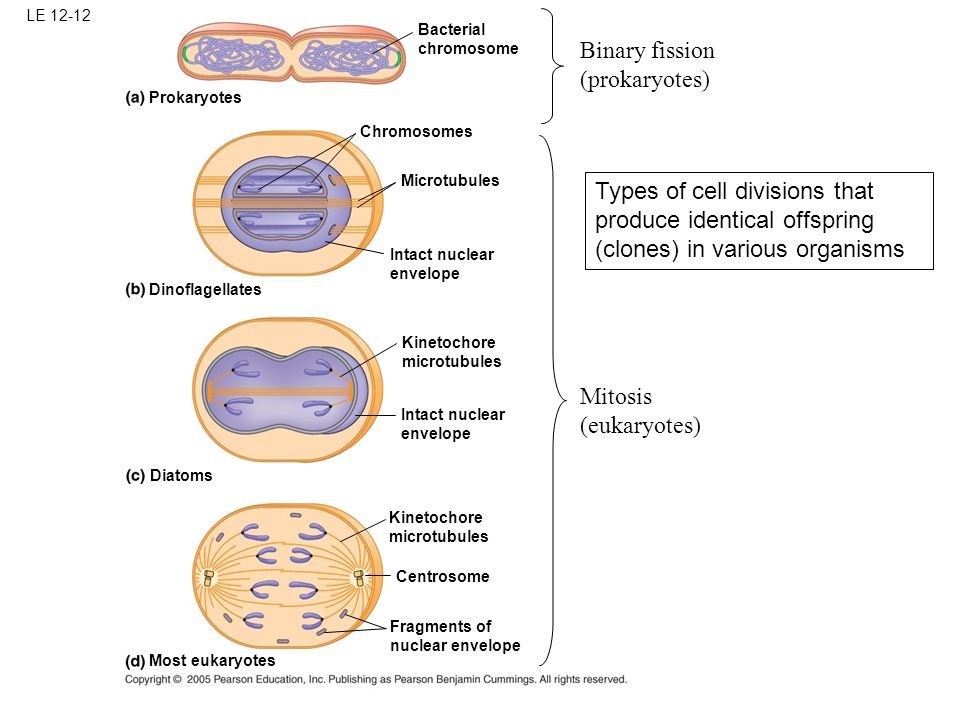 Bacterial chromosome Chromosomes Microtubules Prokaryotes Dinoflagellates Intact nuclear envelope Kinetochore microtubules Kinetochore microtubules Intact nuclear envelope Diatoms Centrosome Most eukaryotes Fragments of nuclear envelope LE 12-12 Types of cell divisions that produce identical offspring (clones) in various organisms Binary fission (prokaryotes) Mitosis (eukaryotes)