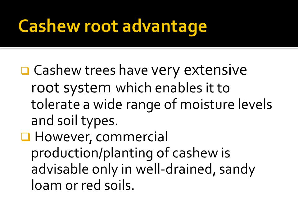 Cashew trees have very extensive root system which enables it to tolerate a wide range of moisture levels and soil types.