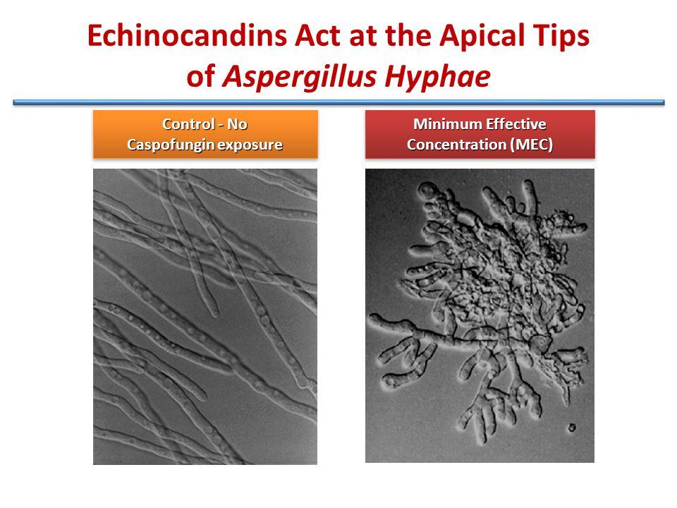 Echinocandins Act at the Apical Tips of Aspergillus Hyphae Control - No Caspofungin exposure Control - No Caspofungin exposure Minimum Effective Concentration (MEC) Minimum Effective Concentration (MEC)