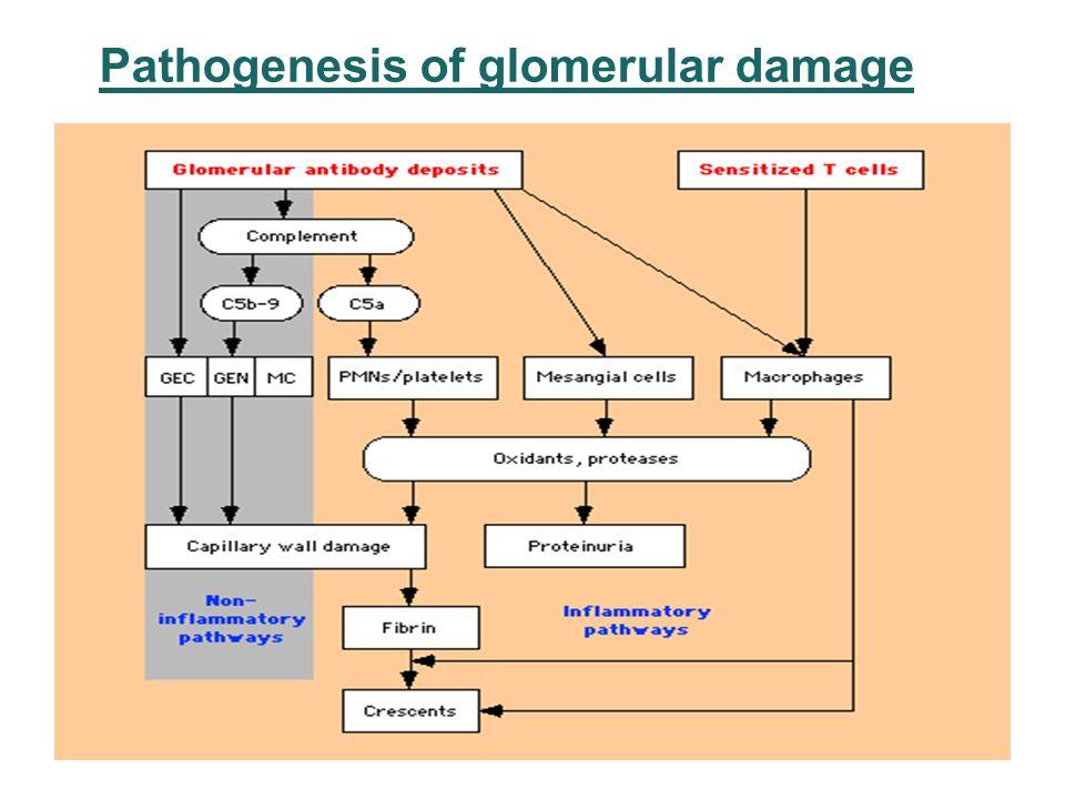 Pathogenesis of glomerular damage 5