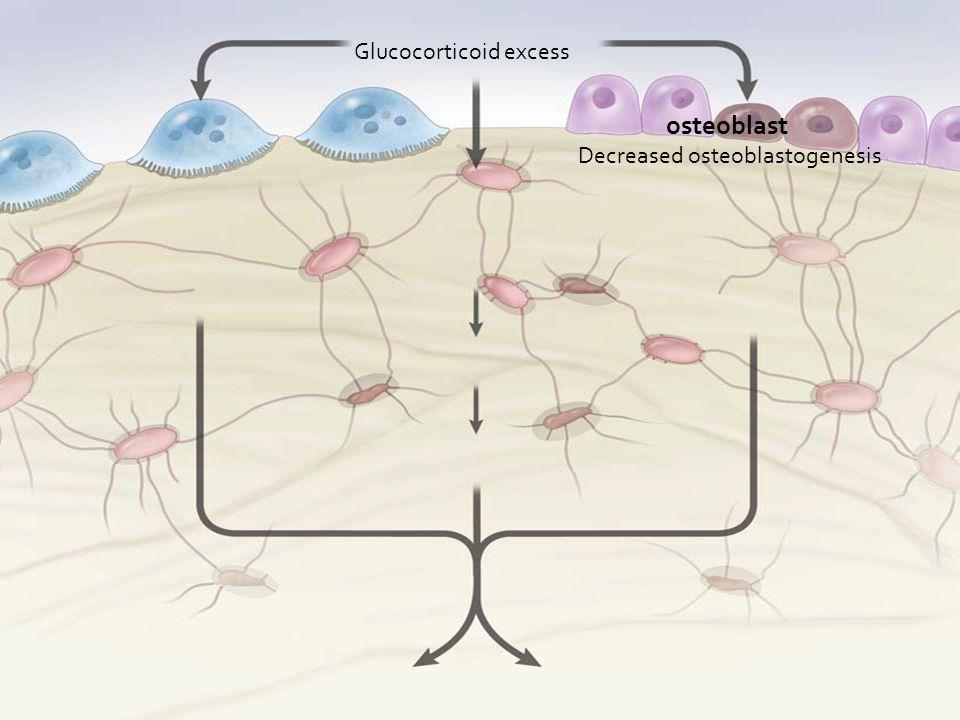 Glucocorticoid excess osteoblast Decreased osteoblastogenesis