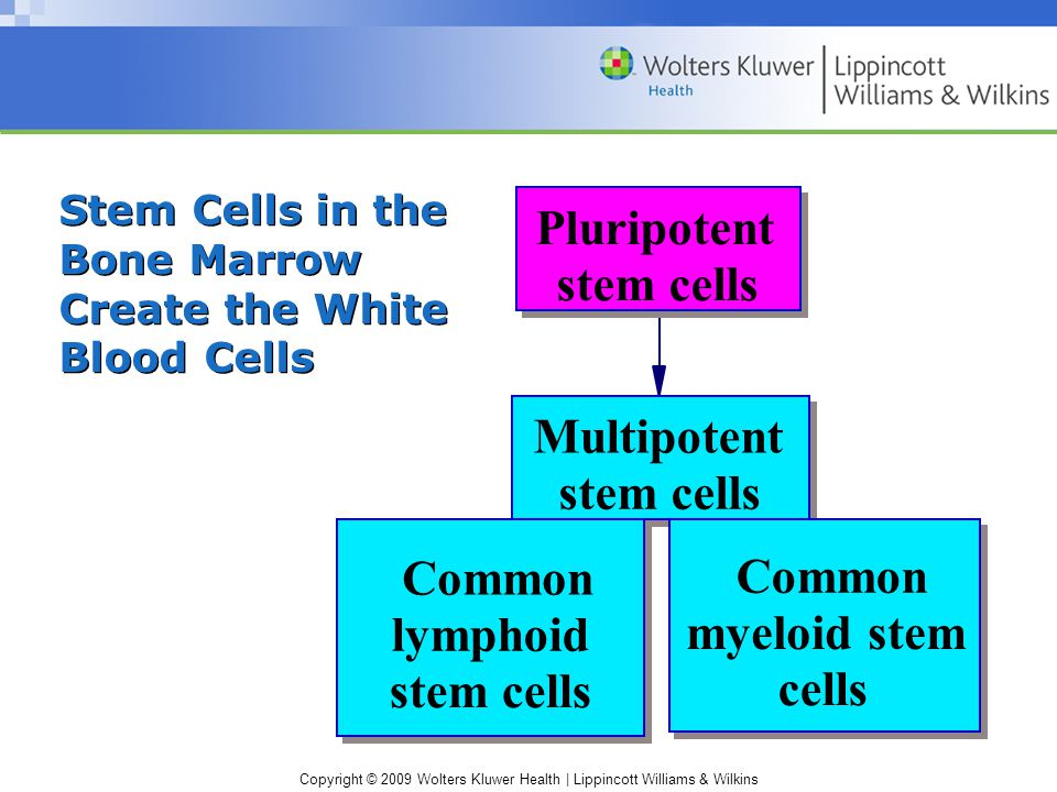 Copyright © 2009 Wolters Kluwer Health | Lippincott Williams & Wilkins Stem Cells in the Bone Marrow Create the White Blood Cells Pluripotent stem cells Multipotent stem cells Common lymphoid stem cells Common myeloid stem cells