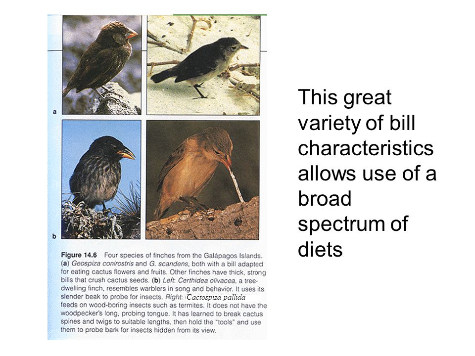 This great variety of bill characteristics allows use of a broad spectrum of diets Cactospiza pallida