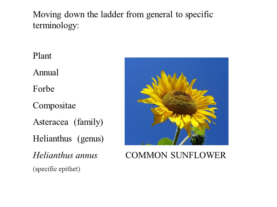 Moving down the ladder from general to specific terminology: Plant Annual Forbe Compositae Asteracea (family) Helianthus (genus) Helianthus annus COMMON SUNFLOWER (specific epithet)