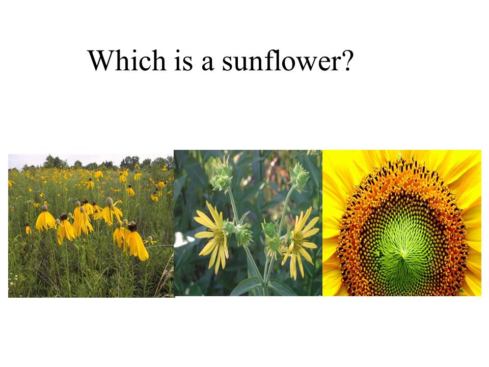 Which is a sunflower