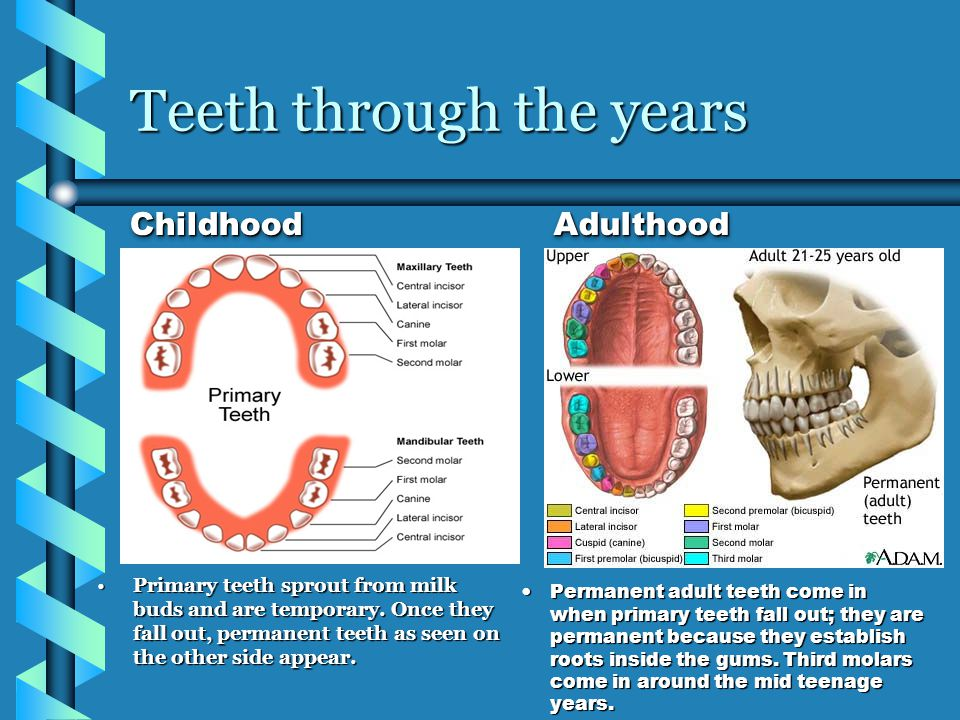 ChildhoodChildhood Adulthood Teeth through the years Primary teeth sprout from milk buds and are temporary.