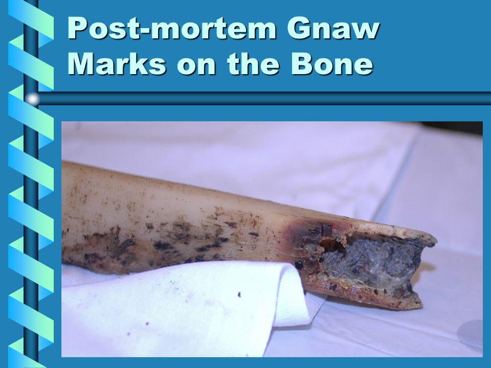 Post-mortem Gnaw Marks on the Bone
