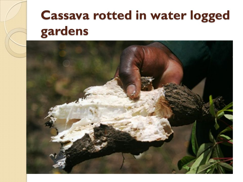Cassava rotted in water logged gardens