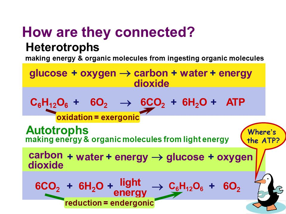 Energy needs of life  All life needs a constant input of energy  Heterotrophs (Animals)  get their energy from eating others  eat food = other organisms = organic molecules  make energy through respiration  Autotrophs (Plants)  produce their own energy (from self )  convert energy of sunlight  build organic molecules (CHO) from CO 2  make energy & synthesize sugars through photosynthesis consumers producers
