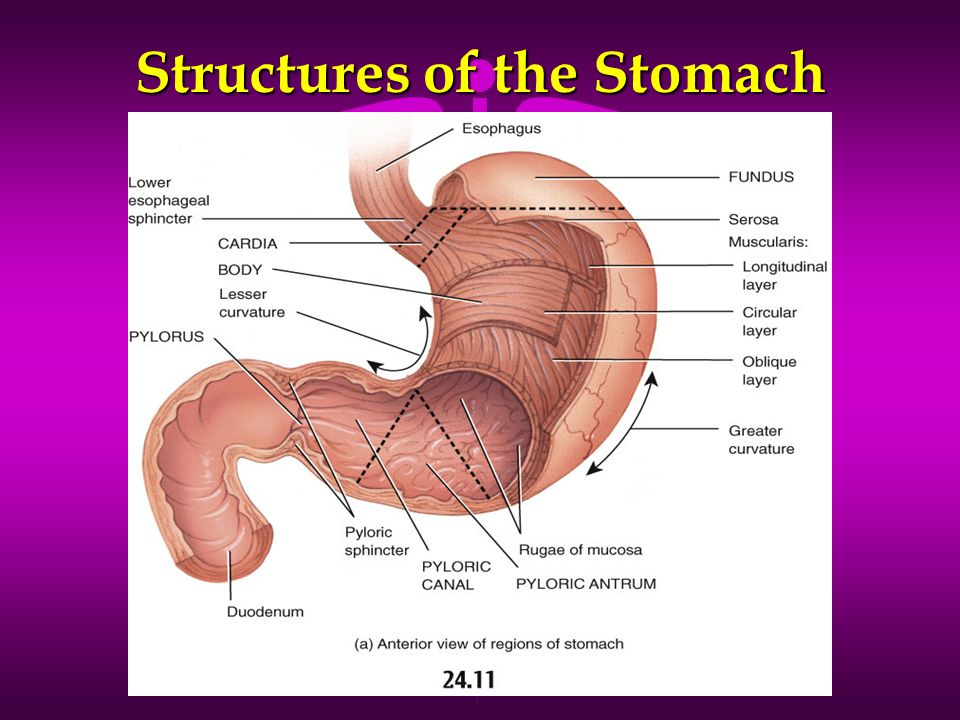 Structures of the Stomach