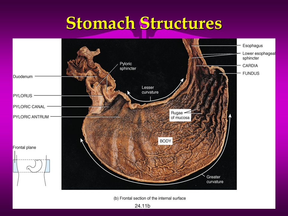 Stomach Structures