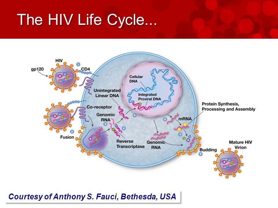 The HIV Life Cycle... Courtesy of Anthony S. Fauci, Bethesda, USA