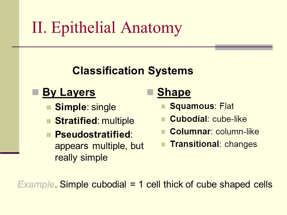 II. Epithelial Anatomy Shape Squamous: Flat Cubodial: cube-like Columnar: column-like Transitional: changes By Layers Simple: single Stratified: multi