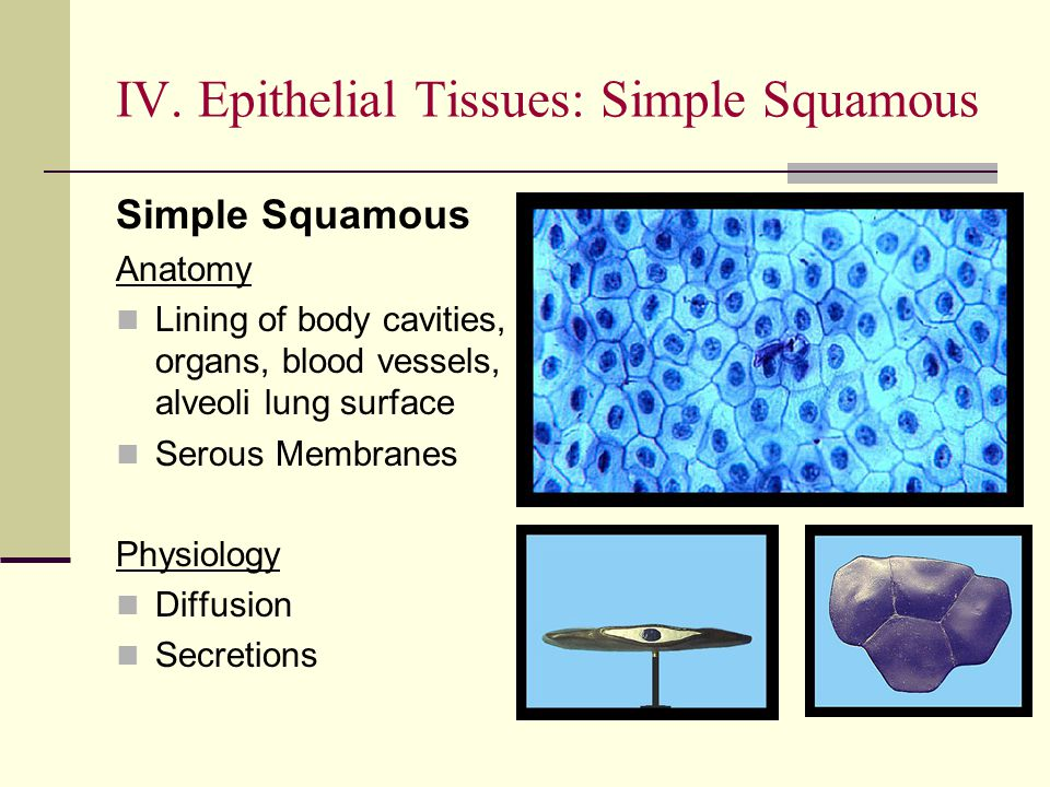 Simple Squamous Anatomy Lining of body cavities, organs, blood vessels, alveoli lung surface Serous Membranes Physiology Diffusion Secretions IV. Epit