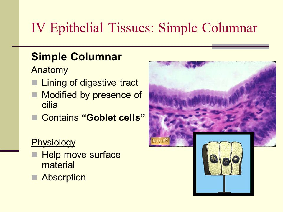 """Simple Columnar Anatomy Lining of digestive tract Modified by presence of cilia Contains """"Goblet cells"""" Physiology Help move surface material Absorpti"""