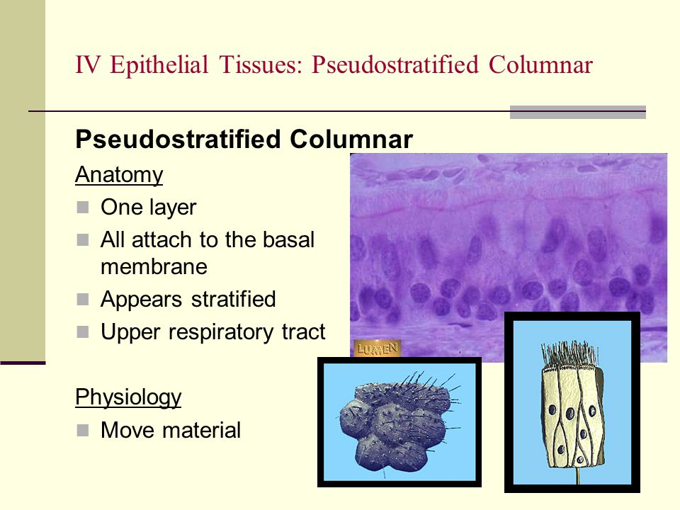 IV Epithelial Tissues: Pseudostratified Columnar Pseudostratified Columnar Anatomy One layer All attach to the basal membrane Appears stratified Upper